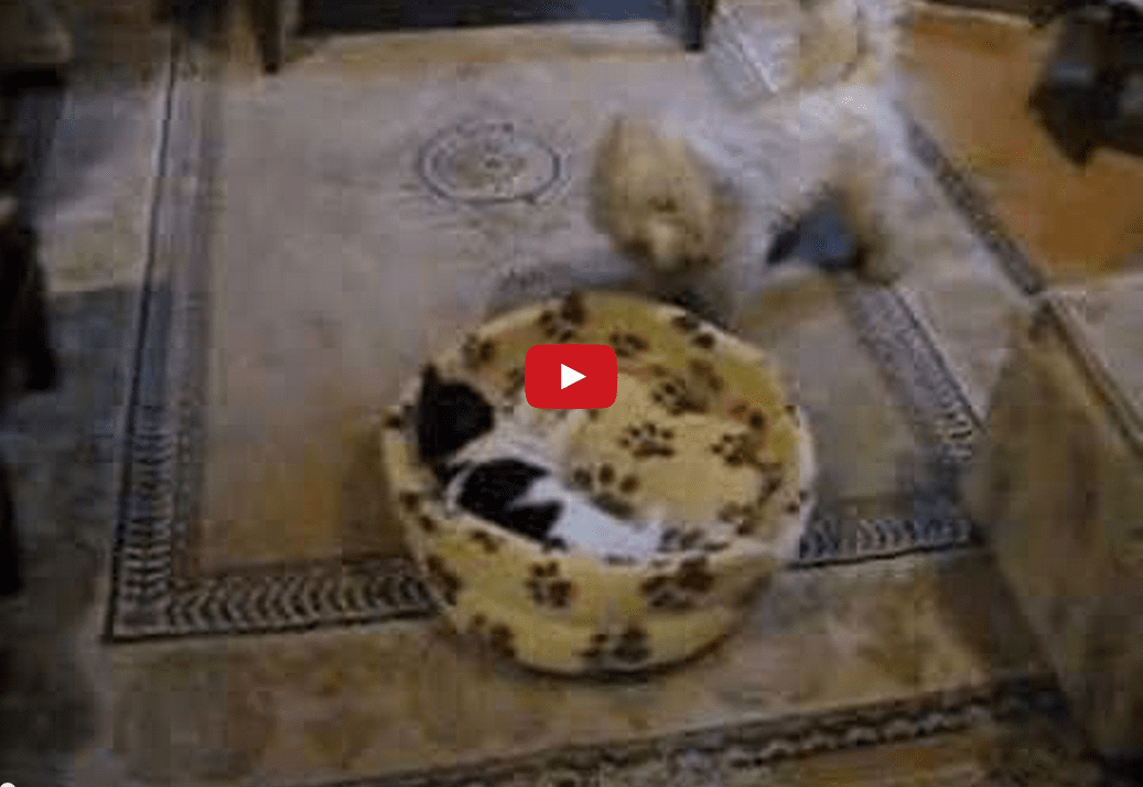 This Dog Struggling to Recover His Bed from a Comfortable Cat is Too Funny!