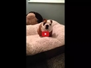 This English Bulldog Puppy Just Got a New Bed and His Reaction is PRICELESS! His Happiness is Infectious!!