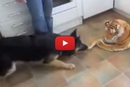 This German Shepherd Dog is Hilariously Afraid of His New Stuffed Tiger Toy!
