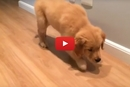 This Golden Retriever Puppy Has Learned To Hunt, This Made Us LOL!