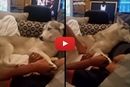 This Husky Is One Determined Cuddler!