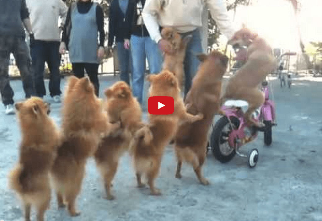 This Incredulous Video of Dogs in a Conga Line Will Have You in Awe! Absolutely Incredible!!