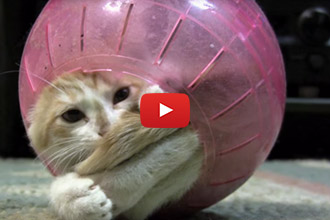 This Kitten Has All The Fun In A Hamster Ball!