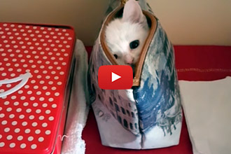 This Kitten Has Too Much Fun In His Mom's Handbag!