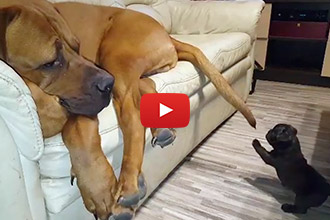 This Little Puppy Loves His Gentle, Yet Giant Friend!