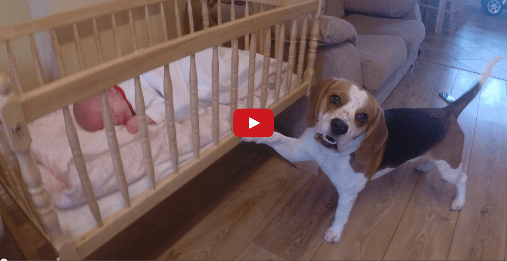 This Parental Pooch Putting a Baby to Bed is too Cute for Words!!