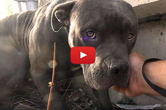 This Pitbull Was Two Steps From The Freeway, Until Hope For Paws Saved Him
