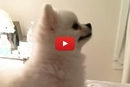 This Pomeranian Has the Most Epic Sneeze!