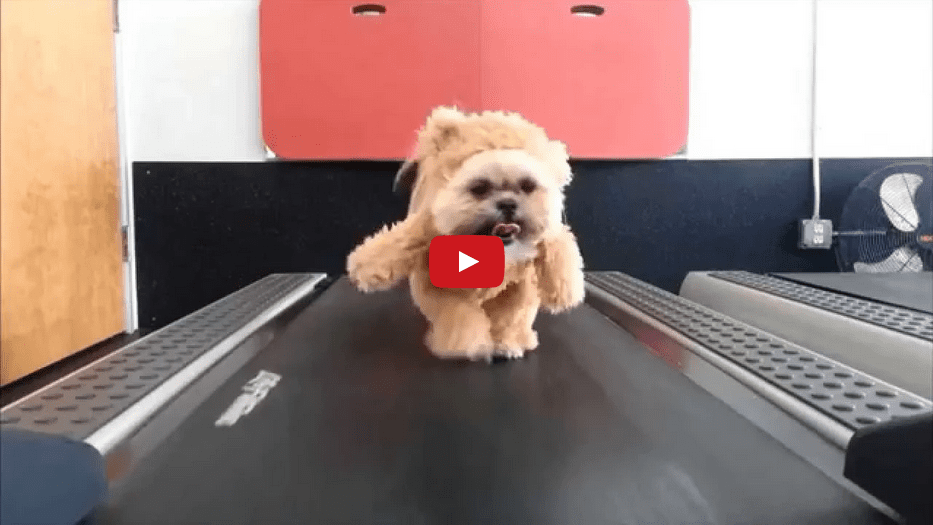 This Precious Pooch in Teddy Bear Workout Gear is TOO CUTE!!