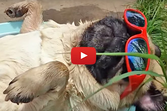 This Pug Knows How To Pass The Time