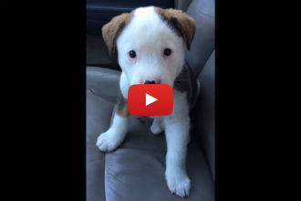 This Puppy Gets Adorably Mad at His Hiccups