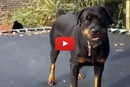 This Rescue Rottweiler Loves His Trampoline!