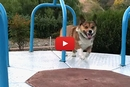 This Video of a Corgi Running on a Carousel is a Must-Watch!