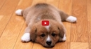 This Video of Poor Pooches Putting Up with Slippery Hardwood Floors is Too Much!!