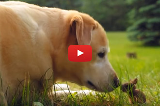 This Yellow Lab Loves His Bunny Friend He Met In A Field!