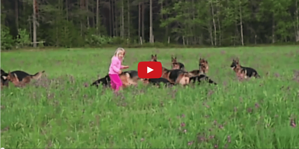 This Young Girl Playing in a Field of German Shepherds Will Incite in You a Forlorn Longing for the Ephemeral Days of Your Youth!!