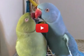 Want To Hear The Cutest Kiss Sound Ever? This Parrot Has It Down!