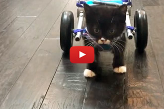 Watch Cassidy The Miracle Kitten, Take His First Steps In His Swanky New Wheelchair!