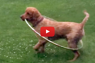 Watch This Brilliant Puppy Try His Hardest At Hula-Hooping!