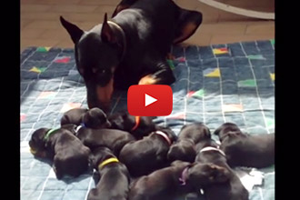 Watch This Daddy Dog Express His Adorable Maternal Instinct