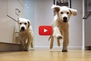 Watch This Time Lapse Of These Golden Retriever Puppies Running For Dinner!