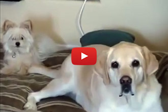Watch What Happens When This Big Dog Wags His Tail!
