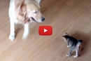 Watch What Happens When This Dog Tries To Play With The Cat's Toy!