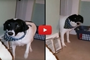 Watch What Happens When This Guilty Dog Is Asked What He Did!