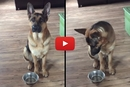 Watch What This German Shepherd Does When He Wants Food!