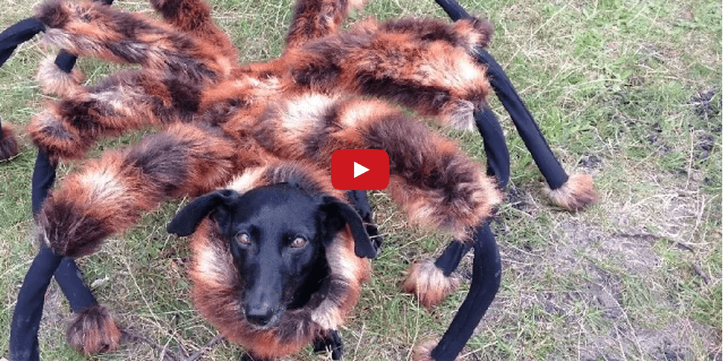 Watching This Dog Dressed as a Spider Terrify Strangers is Oddly Fulfilling! Too Funny!!