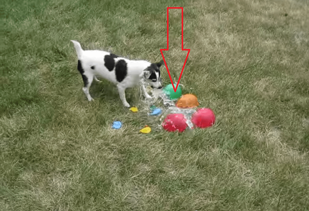 Watching This Dog Pop Water Balloons is Surprisingly Enjoyable! I Laughed Harder Than I Probably Should Have!!