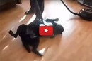 We've Seen Dogs That Love Vacuums... But Wait Until You See This Lab!