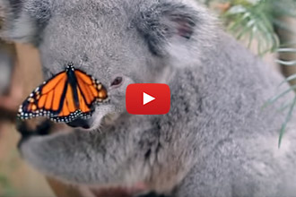 We Had To Share This Koala And His Butterfly Friend!