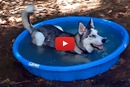 We Know One Husky Who Loves His Kiddie Pool!