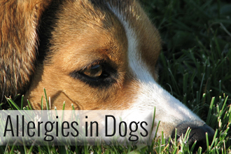 What Causes Dog Allergies And How To Deal With It