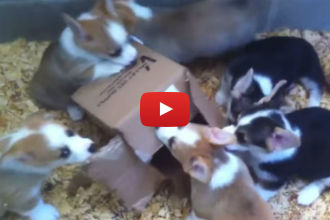 What do Cats and Corgi Puppies Have in Common? Their Love of Boxes!