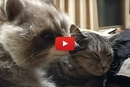 What Happens When A Raccoon Falls In Love With A Cat?