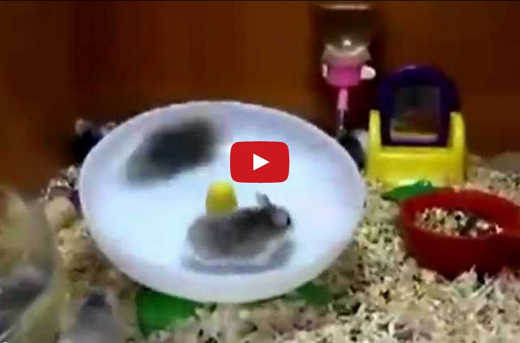 What happens when two hamsters refuse to share? This 55 second video is guaranteed to make you smile!