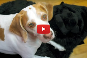What Happens When You Give A Beagle A Giant Stuffed Gorilla?