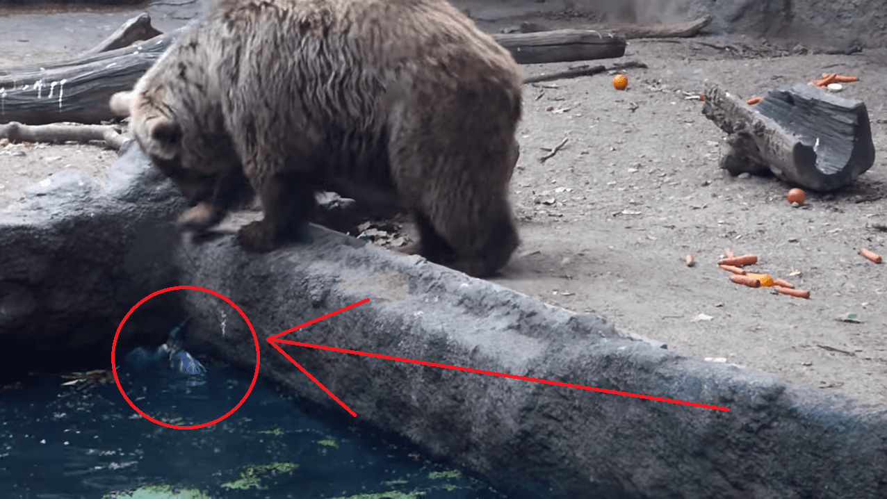 When A Bird Falls into the Water and is Unable to Get Out This Bear Steps in to Save the Day!!