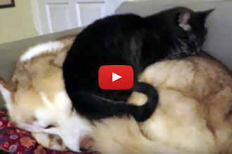When A Cat Walks Over To A Sleeping Husky, We Had To Know What Would Happen