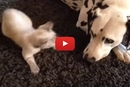 When Kittens Attack, This Dalmatian Knows What To Do
