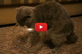 When This Cat Finds a Small Fish Bowl, You Won't Believe What He Does Next!