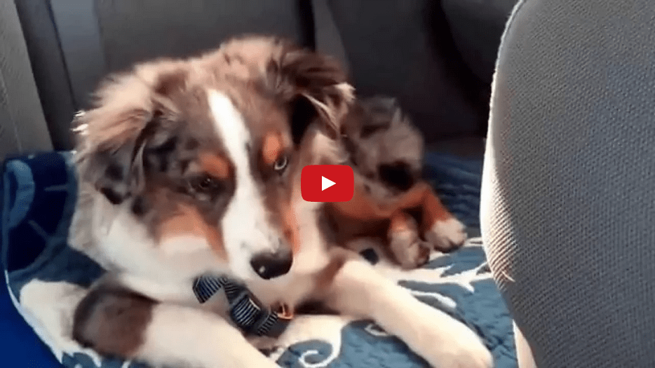 """When This Dog Hears """"Let It Go"""" from Disney's Frozen, He Can't Help But Sing Along! Too Cute!!"""