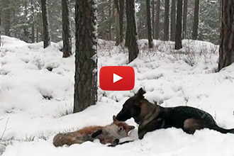 When This Dog Meets a Friendly Fox, an Amazing Friendship Blossoms!