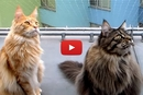 Why Do They Do That?! These Kitties Have An Insane Reaction To Birds!