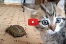 You Will Laugh Hysterically When You See How This Kitten Reacts To A Turtle!