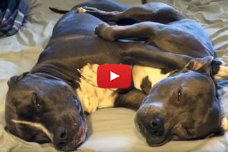 You Will Never Guess What These Two Dogs Are Doing When The Owner Walks In!
