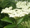 Benefits of  Elderflower