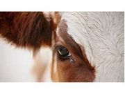 Eye Care for Cattle